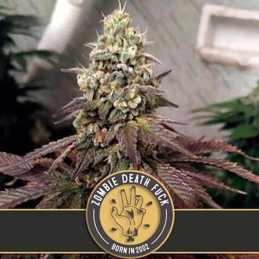 Zombie Death Fuck Cannabis Plant